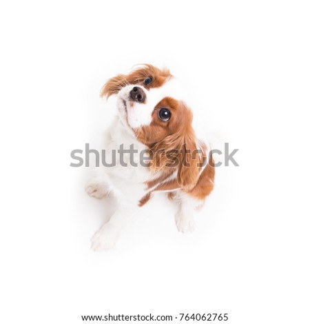 Cavalier King Charles Spaniel is sitting in studio on white background - isolate with shadow. #764062765