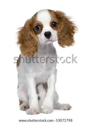 Cavalier King Charles Spaniel, 5 months old, sitting in front of white background