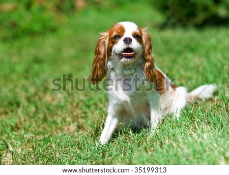 cavalier king charles spaniel on the grass