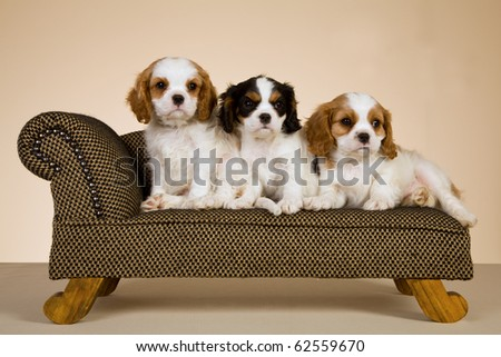 Cavalier King Charles Spaniel puppies on miniature couch