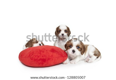 Cavalier King Charles Spaniel puppies with red plush heart pillow,Cavalier King Charles Spaniel puppies