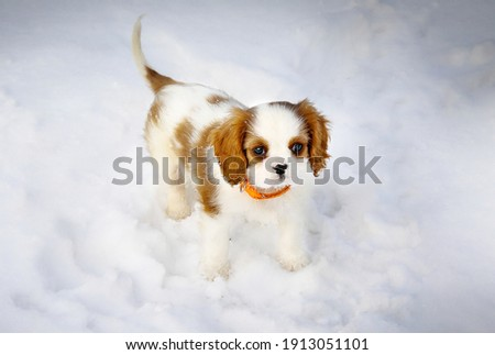 Cavalier king Charles spaniel puppy in the snow winter Photo stock ©