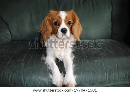 Cavalier King Charles Spaniel puppy laying on the sofa. Photo stock ©