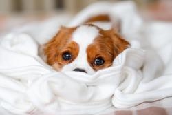 Cavalier King Charles Spaniel Puppy lies in a white blanket
