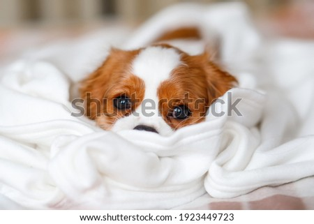 Cavalier King Charles Spaniel Puppy lies in a white blanket Photo stock ©