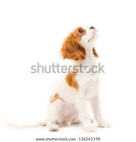 Cavalier King Charles Spaniel, puppy looking up in front of white background