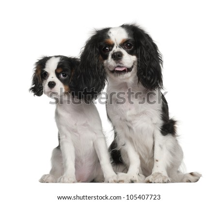 Cavalier King Charles Spaniel puppy, 3 months old, Cavalier King Charles Spaniel, 4 years old, sitting against white background