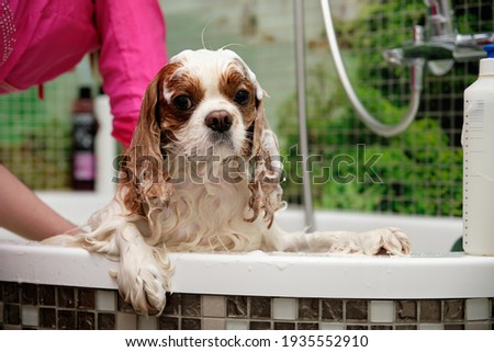 Cavalier King Charles Spaniel. with foam on the body and head. in the bathroom. girl washes dog. Photo stock ©