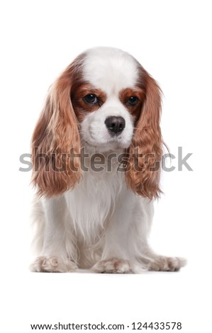 Cavalier King Charles Spaniel (8 years) in front of a white background