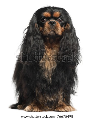 Cavalier King Charles Spaniel, 2 years old, in front of white background - stock photo