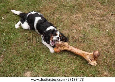 Cavalier Kings Charles Spaniel with a huge bone. - stock photo