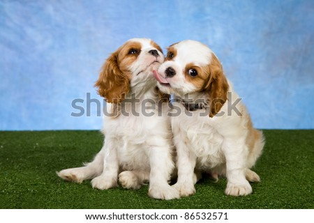 Cavalier puppies kissing licking on green lawn