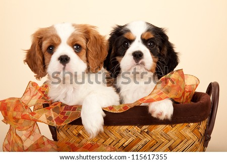 Cavalier puppies sitting inside brown basket with ribbon on beige background
