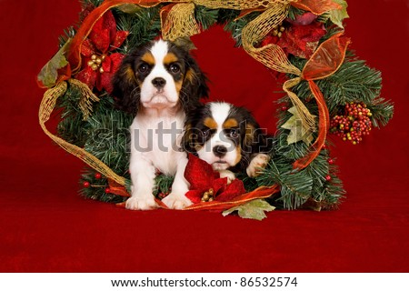 Cavalier puppies with Christmas wreath on red background