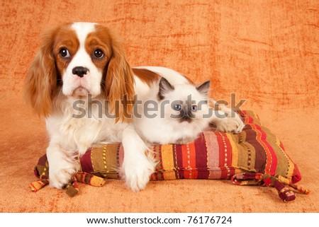 Cavalier puppy and Ragdoll kitten