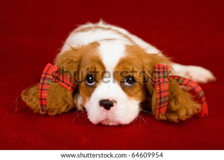 Cavalier puppy with Christmas bows