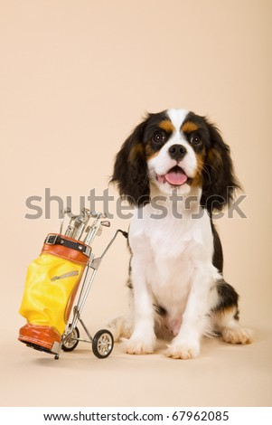 Cavalier puppy with toy miniature golf bag and putters