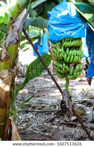 Cavendish banana bunches are encased in plastic bags for protection, plantation is in Tenerife island