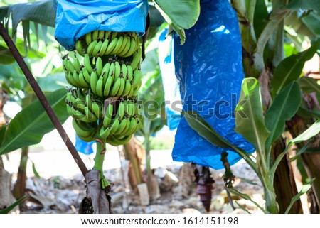 Cavendish bananas plantation, bunches are encased in plastic bags for protection