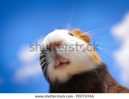 Cavy on a blue sky background. Extremely shallow DOF. Focus on a nose