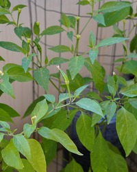 Cayenne pepper plant. The cayenne pepper is a type of Capsicum annuum. It is usually a moderately hot chili pepper used to flavor dishes.