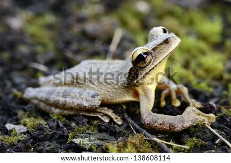 Cayenne slender-legged tree frog (Osteocephalus leprieurii)