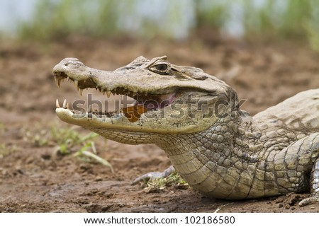 Cayman (Caiman crocodilus fuscus) with butterfly feeding in its mouth, Cano Negro reserve, Alajuela, Costa Rica