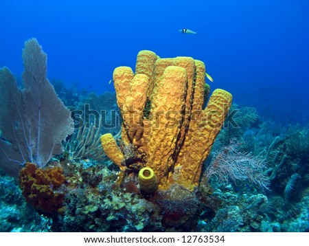 Cayman Island Yellow Tube Sponge on a Reef