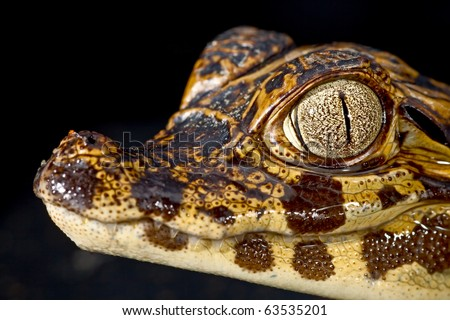 cayman reptile eye detail crocodile juvenile crocodile wild dangerous animal at night in amazon rain forest exotic tropical species aquatic predator gator or spectacled alligator
