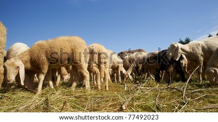 Cazzago San Martino (Bs), Franciacorta, Lombardy, Italy,  a flock of sheep grazing #77492023