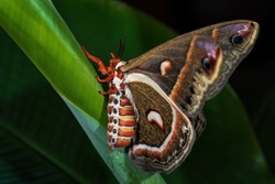 Cecropia Moth - Hyalophora cecropia, beautiful large colored moth from North American forests and woodlands, USA.