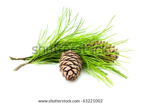 cedar branch with two cedar cones on white