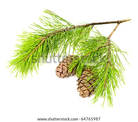 cedar branch with two  cones