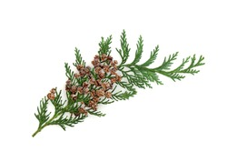 Cedar cypress fir leaf sprig with pine cones isolated on white background. Design element. Arbovitae. Flat lay top view, copy space.