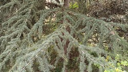 Cedar tree branches hanging down