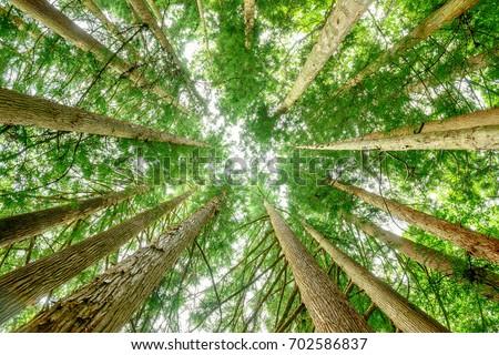 Cedar tree forest.