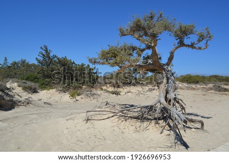 Cedar tree on Chrissi island, Greece