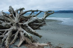 Cedar tree wood roots in Picnic Point area, WA, USA
