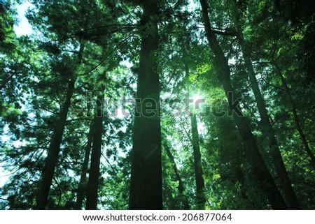 Cedar Trees Of Nachisan