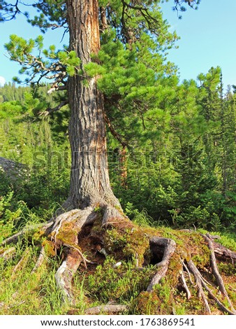 Cedar trees on a cliff with exposed roots. Hiking in coniferous forest. Sunny summer landscape in siberian taiga. Nature park Ergaki, Russia, Siberia. Western Sayan mountains.