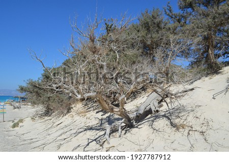 Cedar trees on small sand dunes, Chrissi island, Greece