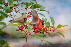 Cedar Waxwing and Male Northern Cardinal on Bough of American Holly Tree Laden with Red Berries