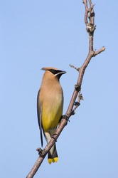 Cedar Waxwing bird sits on a tree branch against a blue sky