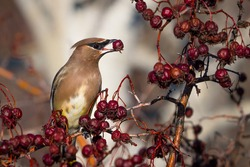 Cedar Waxwing Bombycilla Cedrorum Bird Eating Berries on a Tree Branch Wallpaper. Bird with Red Berry in a Beak