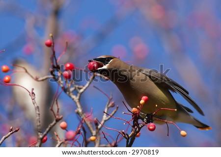 Cedar Waxwing eating berries