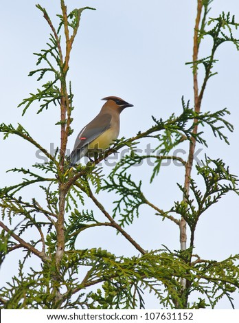 Cedar waxwing perched in cedar tree showing colored tips on wing