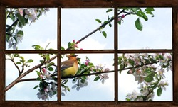 Cedar waxwing singing in the Spring surrounded by apple blossoms, as seen though the farm house bedroom window.  Part of a series.