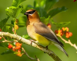 Cedar Waxwing song birds are beautiful