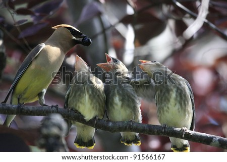 Cedar Waxwings being fed