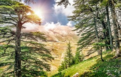 Cedars of Lebanon, beautiful ancient cedar tree forest in the mountains, amazing Lebanese nature, peaceful landscape of a National Park Reserve, Bsharre village, North of Lebanon